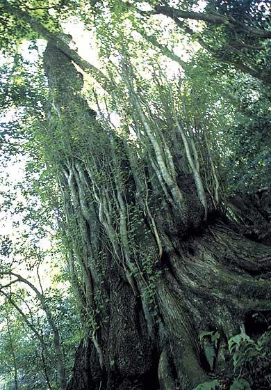 カツラ (植物)の画像 p1_26